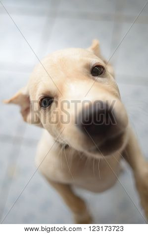cutie little Thai dog in a light brown fur
