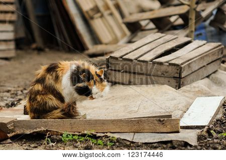 tricolored fluffy cat sitting and washes on the street countryside