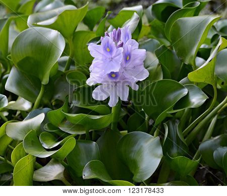 one flower of water hyacinth in nature