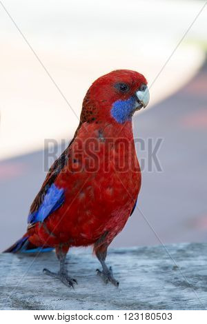 Crimson Rosella in Wilsons Promontory National Park in Victoria Australia