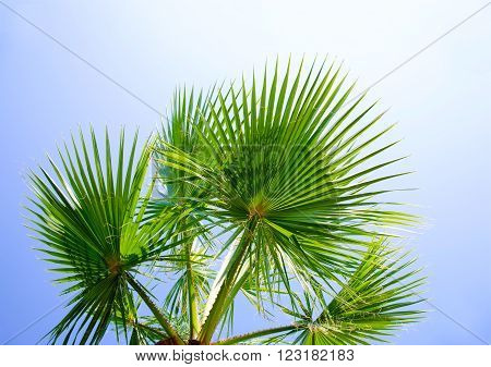 Palm tree against the blue sky with green leaves