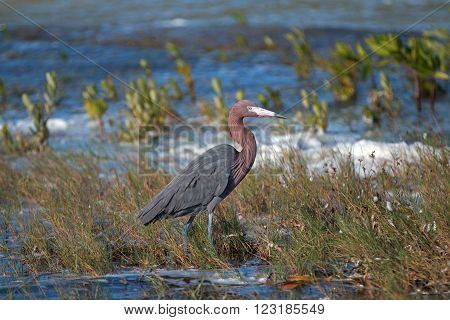 Reddish Egret Walking In Marshy Shallow Tidal Waters Of Isla Blanca Cancun Mexico