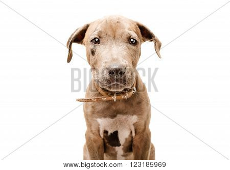 Cute puppy pitbull, closeup, isolated on white background