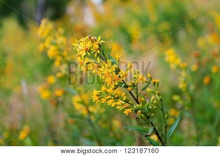 Hypericum flower. Natural summer background with yellow flowers.