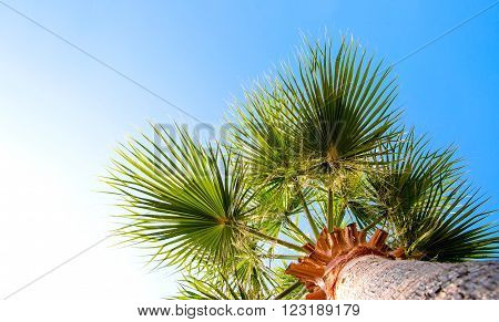 Palm tree against the blue sky with green leaves.