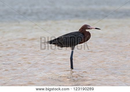 Reddish Egret wading in tidal waters in Chacmuchuk Lagoon on the Isla Blanca peninsula of Cancun Mexico