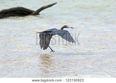 Reddish Egret flying low over tidal waters in Chacmuchuk Lagoon in Isla Blanca Cancun Mexico