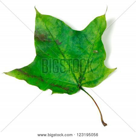 Green maple leaf. Isolated on white background.
