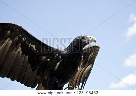 this is a close up of a wedge tailed eagles ** Note: Visible grain at 100%, best at smaller sizes