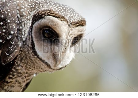 this is a close up of a sooty owl ** Note: Soft Focus at 100%, best at smaller sizes