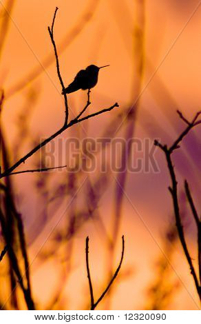 Hummingbird At Sunrise