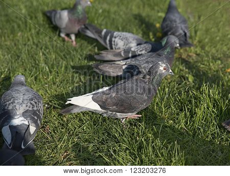 Flock of Pigeon in the group eat food