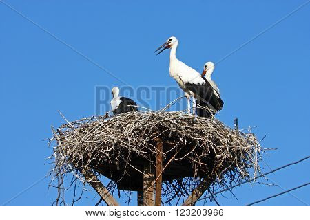 Storks in the nest on power pole