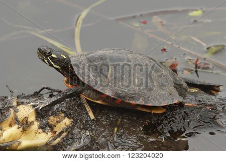 Painted Turtle (Chrysemys picta) sunning on a log