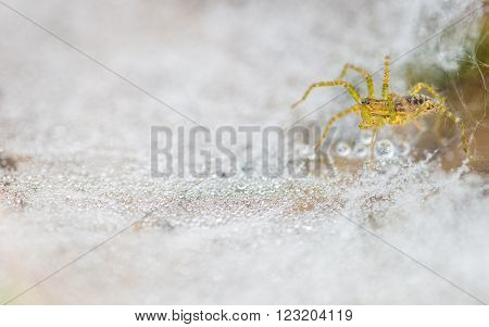 Close-up of a little yellow-greenish spider crouching on web covered with countless glowing dew drops.