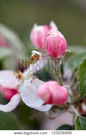 Beautiful flowers of the blossoming apple tree in the spring time/Apple blossom