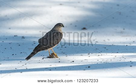 Adult Cooper's Hawk (Accipiter cooperii), looks around after a successful hunt,  Pine Siskin finch for lunch.  Wildlife drama on spring corn snow.