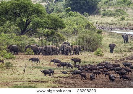 Specie Syncerus caffer and Loxodonta africana, african buffalos in savannah, South Africa