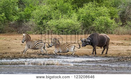 Specie Syncerus caffer and Equus quagga burchelli, plain zebras and african bffalo in the riverbank, South Africa