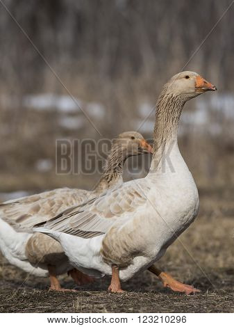 A grey Toulouse domestic goose on a farm