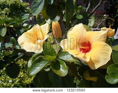 Hibiscus rosa-sinensis Many yellow flowers on a tree in a garden of flowers in the sun.