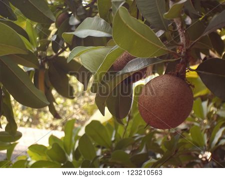 Sapodilla is not ripe The leaves on the trees around it.