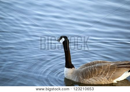Swimming Canada Goose in a pond with light ripples in the water around the goose