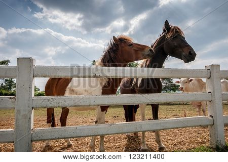 Couple horses in paddock outdoor, farm animals