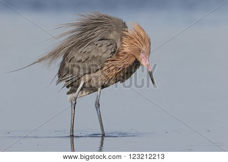 Reddish Egret Stalking A Fish In A Shallow Tidal Lagoon - Florida