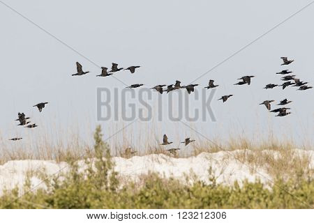 Flock Of Double-crested Cormorants In Flight