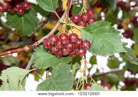Fruits Hawthorn berries used for treatment of diseases of the heart, blood vessels, normalize the pressure overcome fatigue and insomnia