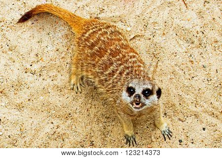 Meerkat (small rodent) snarling while in the desert