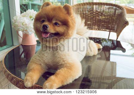cute pets a little pomeranian dog smiling happy