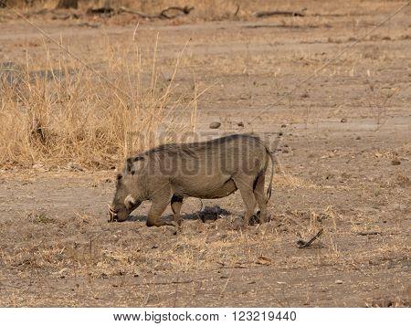 a warthog in the African savannah, Malawi