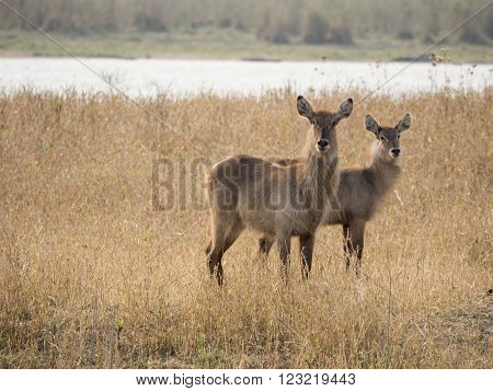two Impala in the African savannah, Malawi