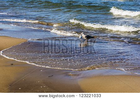 Seagull with fish caught on the sea shore.