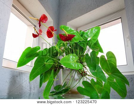 red anthurium flowers decorative house plants interior ** Note: Visible grain at 100%, best at smaller sizes
