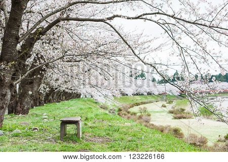 Sakura Or Cherry Blossom Flower