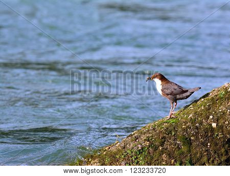 White-throated Dipper On Moss Rock