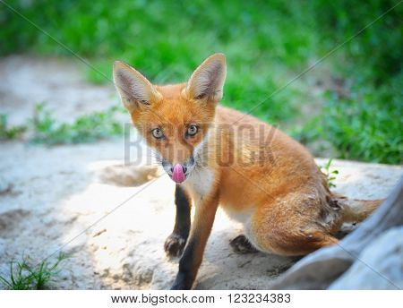 Red Fox Cub in good sunny day