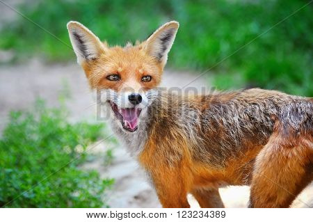 Red Fox Cub In Grass. The Animal Smiles