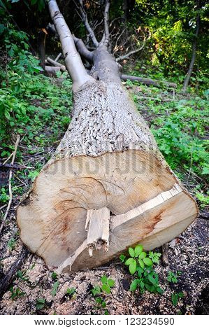 Cut off a large tree in the forest