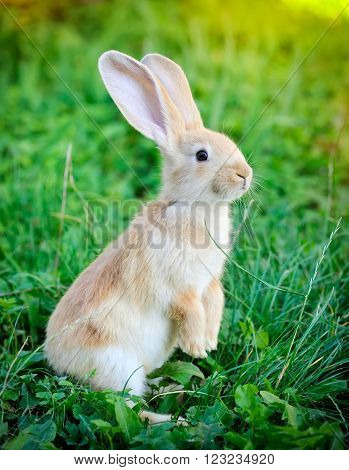 Little Rabbit Standing On Hind Legs In The Grass