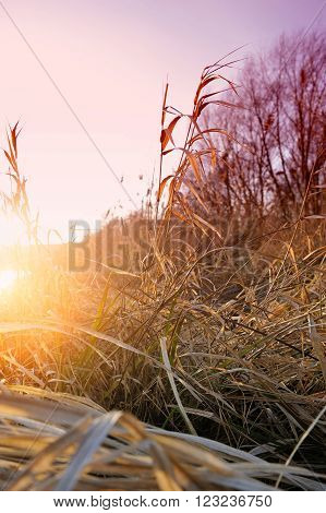 Bulrush on background beautiful sunset in winter ** Note: Shallow depth of field