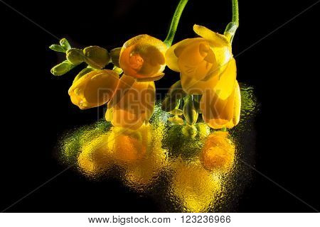 Yellow freesia , spring flower isolated on black  background