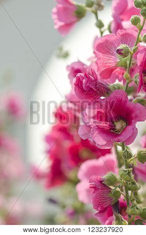 Pink hollyhock flower in the garden. Soft focus. ** Note: Shallow depth of field