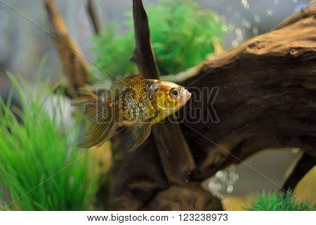 Goldfish Swim In An Aquarium Among Algae