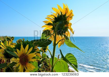 Sunflowers over a precipice on the background of blue sea