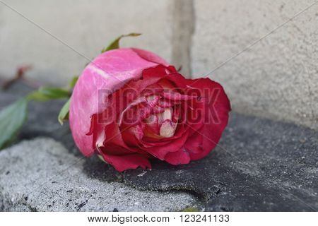 pink rose on a brick building with a resin