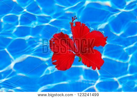Tropical hibiscus flower floating in blue water